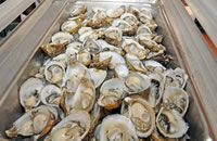 Tray of Oysters