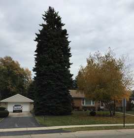 63-foot Colorado Blue Spruce donated by the Voelker family