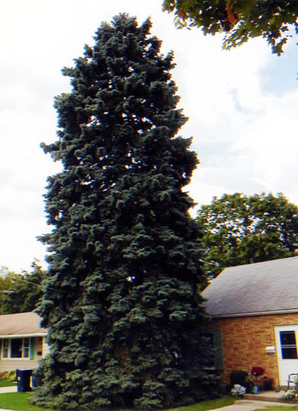 Christmas Tree Online Application
