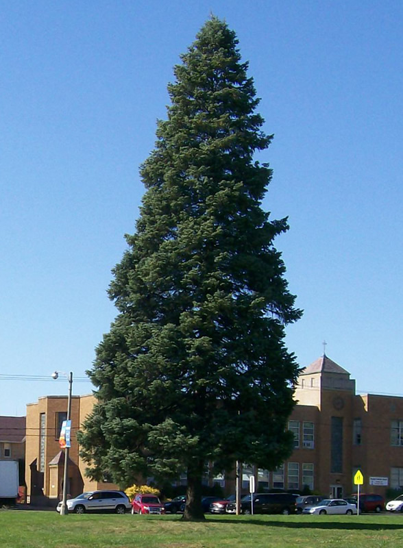 2010 colomer tree mchenry il - Chicago Christmas Tree