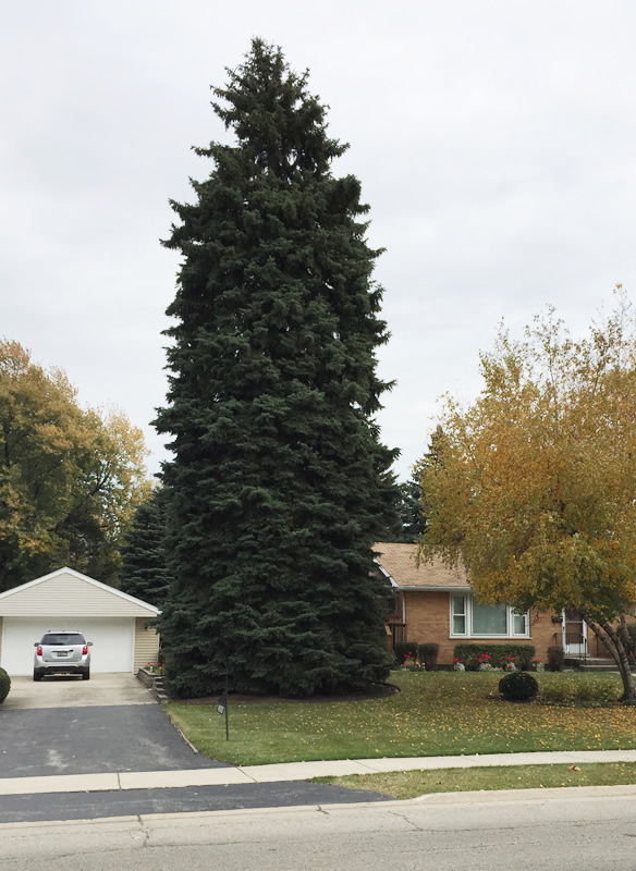2015 voelker tree northlake il - Christmas Trees Chicago