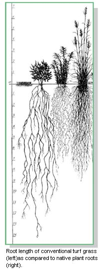 Illustration of grasses and the depth of there root systems.